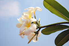 Plumeria (Frangipani). Fotografia Stock