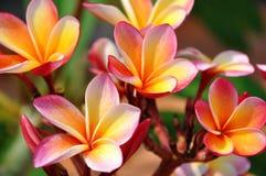 Plumeria (Frangipani). Royalty Free Stock Photos