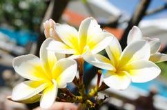 Plumeria, frangipani стоковая фотография rf