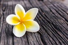 Plumeria ή frangipani. Στοκ εικόνες με δικαίωμα ελεύθερης χρήσης