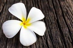 Plumeria or frangipani. Stock Photos