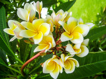 Plumeria, frangipani Στοκ φωτογραφία με δικαίωμα ελεύθερης χρήσης