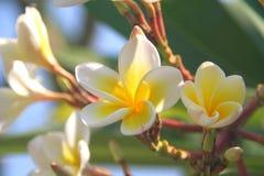 plumeria frangipani стоковая фотография rf