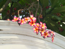 Plumeria ή frangipani Στοκ φωτογραφία με δικαίωμα ελεύθερης χρήσης