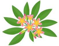 Plumeria Frangipani. Raster illustration of a pink plumeria frangipani flowers Stock Photos