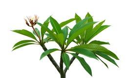 Plumeria Frangipani Στοκ Εικόνα