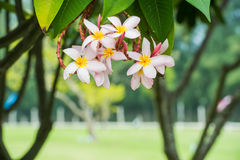 Plumeria, Frangipani blüht auf Baum im Park Lizenzfreie Stockfotos
