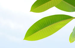 Plumeria of Frangipani-bladeren Royalty-vrije Stock Fotografie