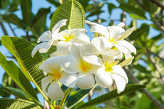 Plumeria (frangipani) bloemen op boom Stock Afbeelding
