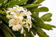 Plumeria of Frangipani-bloemenwit Stock Afbeeldingen
