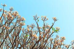 Plumeria (Frangipani) blommar att blomma på träd- och himmelbakgrund Royaltyfri Foto