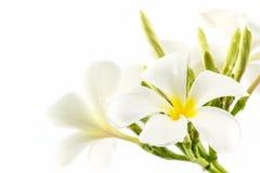 Plumeria or frangipani blossom. stock photography