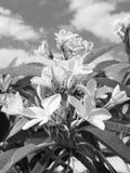 Plumeria Frangipani-Blumen in der Bl?te stockbilder