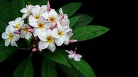 Plumeria Frangipani, Champa, Amapola, and Temple Tree are other. Name, a beautiful tropical flowers with green leaves after rain on black background stock photos