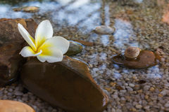 Plumeria or frangipani decorated on water and pebble rock in zen Royalty Free Stock Photography