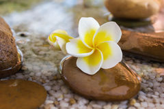 Plumeria or frangipani decorated on water and pebble rock in zen style Royalty Free Stock Photography