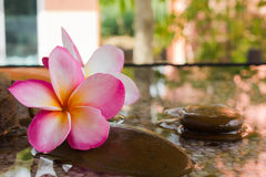 Plumeria or frangipani decorated on water and pebble rock in zen style Stock Images