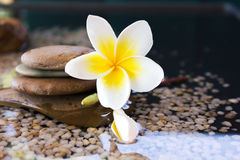 Plumeria or frangipani decorated on water and pebble rock in zen Royalty Free Stock Images