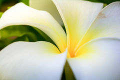 Plumeria, Frangipani, flor branca Foto de Stock Royalty Free