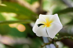 Plumeria, Frangipani, flor branca Fotos de Stock Royalty Free