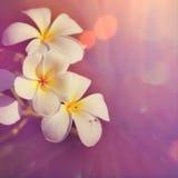 Plumeria frangipani Royalty Free Stock Images