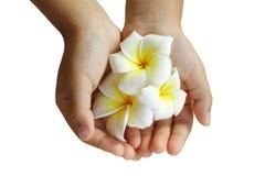 Plumeria or Frangipani flower in children's hand Royalty Free Stock Photos