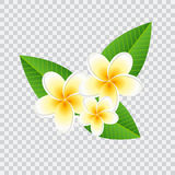 Plumeria frangipani flower with green leaves. On checked background Royalty Free Stock Photo