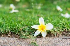 Plumeria or Frangipani flower on the ground Royalty Free Stock Photo