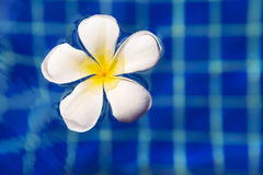 Plumeria frangipani flower in swimming pool - holiday tropical c Stock Images