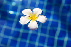 Plumeria frangipani flower in swimming pool - holiday tropical c Royalty Free Stock Images