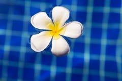 Plumeria frangipani flower in swimming pool Stock Photos