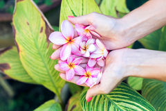 Plumeria frangipani flower in woman hands on a beautiful nature background Royalty Free Stock Photos
