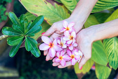 Plumeria frangipani flower in woman hands on a beautiful nature background Stock Image