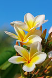 Plumeria (Frangipani) flowers Stock Image
