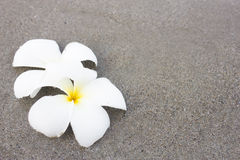 Plumeria (frangipani) flowers on the beach Stock Photos