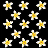 Plumeria frangipani flowers  black background Stock Image