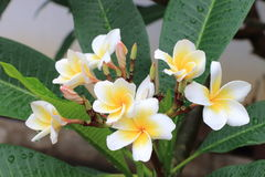 Plumeria or Frangipani flowers. Blossom of tropical tree with water drop from rain Royalty Free Stock Images