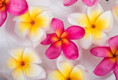 Plumeria or frangipani flowers Royalty Free Stock Image
