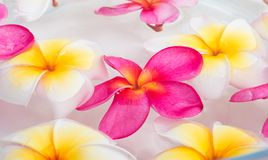 Plumeria or frangipani flowers Royalty Free Stock Images