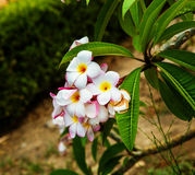 Plumeria, frangipani flowers Royalty Free Stock Photo