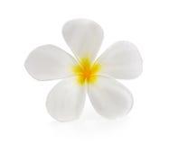 Plumeria and frangipani flowers isolated  white background Royalty Free Stock Image