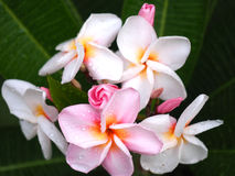 Plumeria frangipani flowers pink and white with green leaf and drop of water Royalty Free Stock Photo
