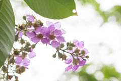Plumeria frangipani flowers on tree. Branch of violet flowers on tree Royalty Free Stock Photos