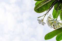 Plumeria (frangipani) flowers on tree and cloud background Stock Photo