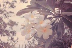 Plumeria (frangipani) flowers on tree. La Reunion island Stock Photography