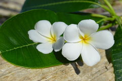 Plumeria(Frangipani) flowers on a tree trunk Stock Photo