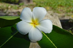 Plumeria(Frangipani) flowers on a tree trunk Stock Image