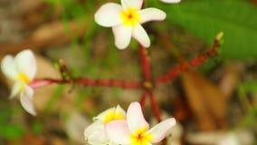 Plumeria Frangipani Flowers Panning Down High Definition. Plumeria frangipani flowers in white and yellow panning panoramic high definition stock footage video stock video footage