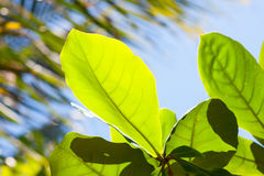 Plumeria frangipani fresh green leaves. In sunny weather Stock Photography