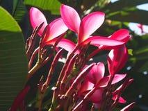 Plumeria Frangipani genommen bei Arthur McElhone Reserve, Elizabeth Bay, New South Wales, Australien im März 2019 lizenzfreies stockbild